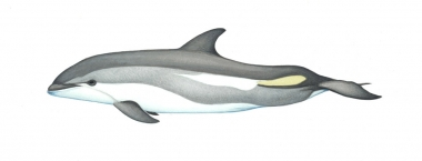 Image of Atlantic white-sided dolphin (Lagenorhynchus acutus) - Calf