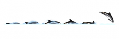 Image of Atlantic white-sided dolphin (Lagenorhynchus acutus) - Dive sequence
