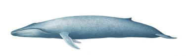 Image of Blue whale (Balaenoptera musculus) - Adult