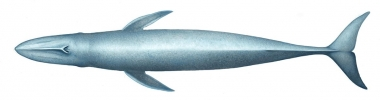 Image of Blue whale (Balaenoptera musculus) - Upperside