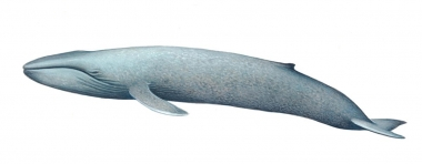 Image of Blue whale (Balaenoptera musculus) - Calf