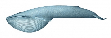 Image of Blue whale (Balaenoptera musculus) - Extended throat when feeding