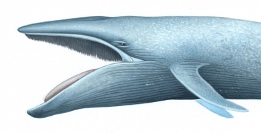 Image of Blue whale (Balaenoptera musculus) - Open mouth showing baleen plates