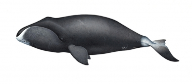 Image of Bowhead whale (Balaena mysticetus) - Adult