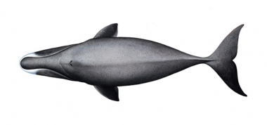 Image of Bowhead whale (Balaena mysticetus) - Topside, adult