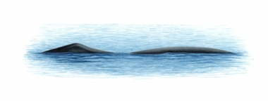 Image of Bowhead whale (Balaena mysticetus) - Characteristic double-humped surface profile