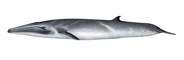 Image of Bryde's whale (Balaenoptera edeni) - Adult