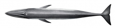 Image of Bryde's whale (Balaenoptera edeni) - Topside