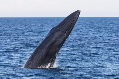 Image of Bryde's whale (Balaenoptera edeni) - Breaching, Sea of Cortez (Gulf of California), Baja California, Mexico