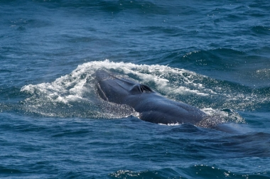 Image of Bryde's whale (Balaenoptera edeni) - Showing characteristic three ridges on rostrum Sea of Cortez (Gulf of California), Baja California, Mexico