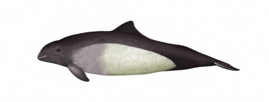Image of Dall's porpoise (Phocoenoides dalli) - Calf