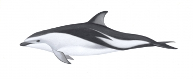 Image of Dusky dolphin (Lagenorhynchus obscurus) - Adult