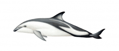 Image of Dusky dolphin (Lagenorhynchus obscurus) - Calf