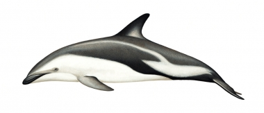 Image of Dusky dolphin (Lagenorhynchus obscurus) - Adult Argentinian (Fitzroy's)