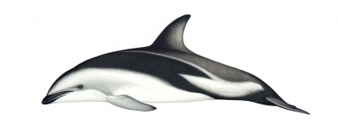 Image of Dusky dolphin (Lagenorhynchus obscurus) - Adult New Zealand
