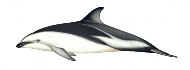 Image of Dusky dolphin (Lagenorhynchus obscurus) - Adult Peruvian/Chilean