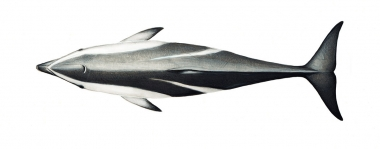Image of Dusky dolphin (Lagenorhynchus obscurus) - Topside