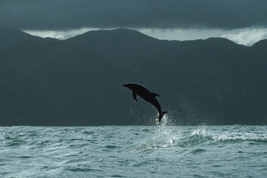 Image of Dusky dolphin (Lagenorhynchus obscurus) - Breaching, Kaikoura, South Island, New Zealand