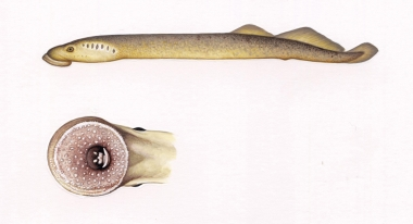 Image of Common Ectoparasites on Cetaceans - North Atlantic or sea lamprey (Petromyzon marinus), showing mouth detail