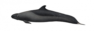 Image of False killer whale (Pseudorca crassidens) - Adult