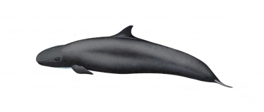 Image of False killer whale (Pseudorca crassidens) - Calf