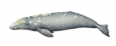 Image of Grey or gray whale (Eschrichtius robustus) - Adult