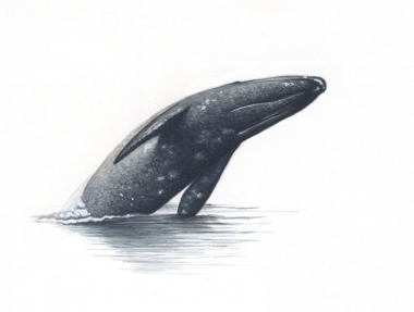 Image of Grey or gray whale (Eschrichtius robustus) - Breaching