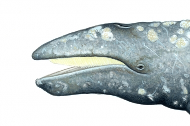 Image of Grey or gray whale (Eschrichtius robustus) - Left side of head