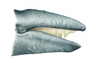 Image of Grey or gray whale (Eschrichtius robustus) - Right side of head