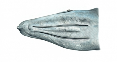 Image of Grey or gray whale (Eschrichtius robustus) - Showing throat grooves; usually there are 2 or 3 with a maximum of 7