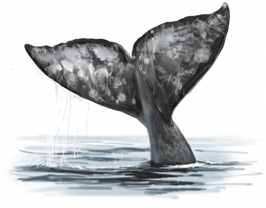 Image of Grey or gray whale (Eschrichtius robustus) - Fluking