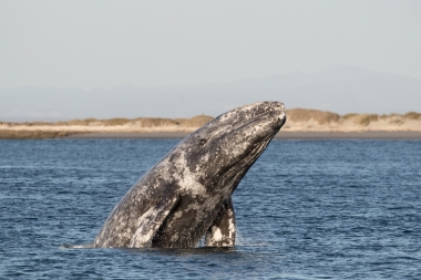 Image of Grey or gray whale (Eschrichtius robustus) - Breaching, San Ignacio Lagoon, Baja California, Mexico