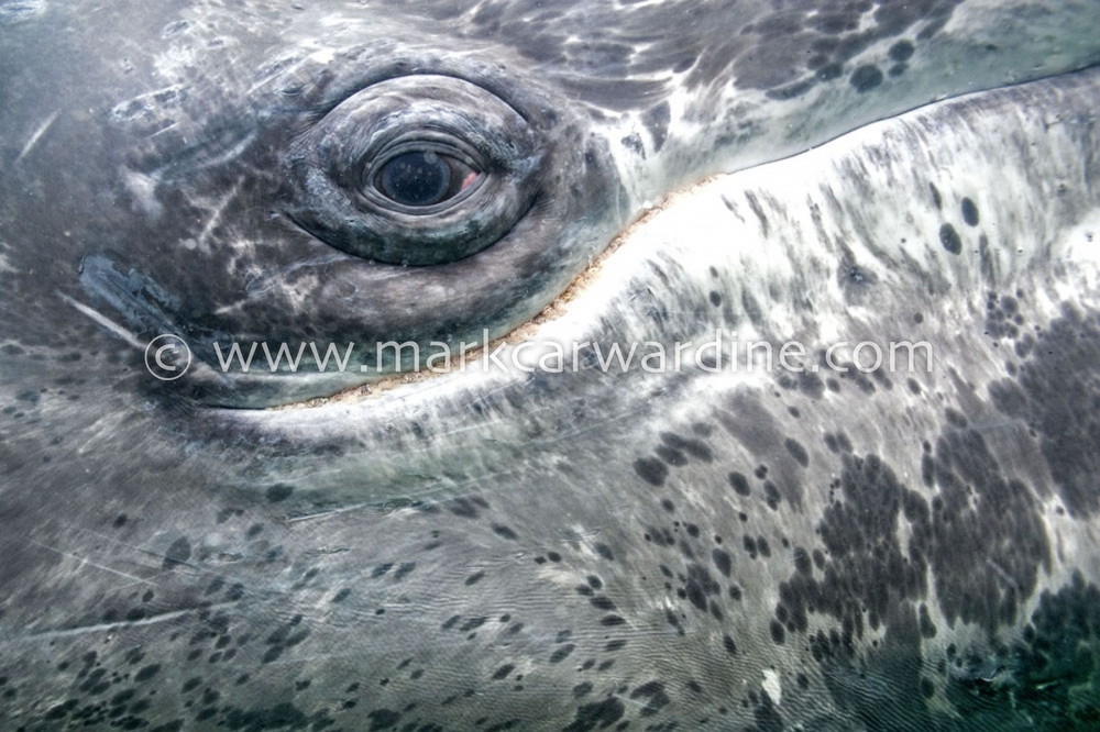 Grey or gray whale (Eschrichtius robustus)