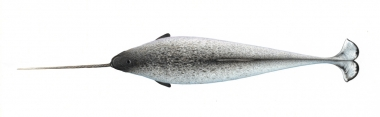Image of Narwhal (Monodon monoceros) - Upperside, adult male