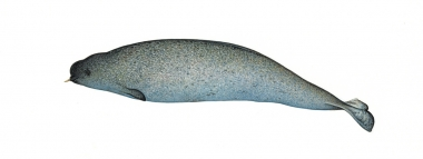 Image of Narwhal (Monodon monoceros) - Juvenile male