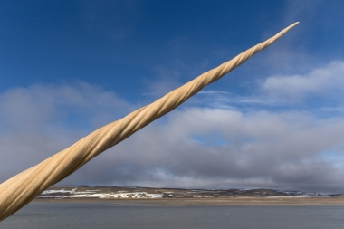 Image of Narwhal (Monodon monoceros) - Male tusk