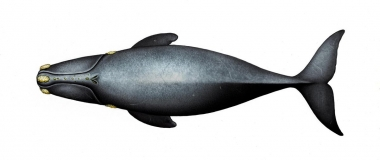 Image of North Pacific right whale (Eubalaena japonica) - Top side