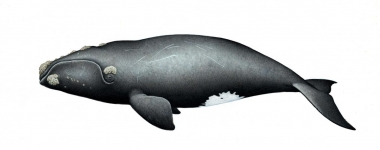 Image of North Pacific right whale (Eubalaena japonica) - Adult
