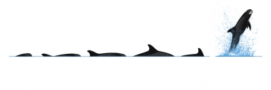 Image of Pygmy killer whale (Feresa attenuata) - Dive sequence