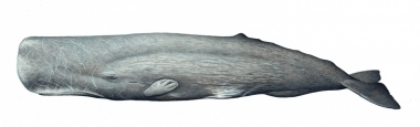 Image of Sperm whale (Physeter macrocephalus) - Old male