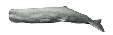 Image of Sperm whale (Physeter macrocephalus) - Adult male