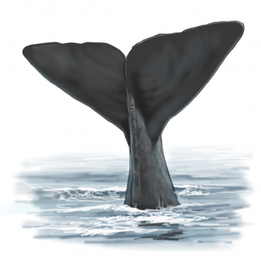 Image of Sperm whale (Physeter macrocephalus) - Fluking