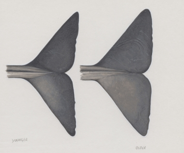 Image of Sperm whale (Physeter macrocephalus) - Fluke undersides, younger (left), older (right)
