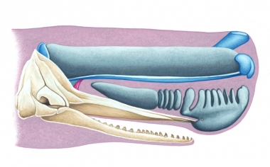 Image of Sperm whale (Physeter macrocephalus) - Spermaceti organ