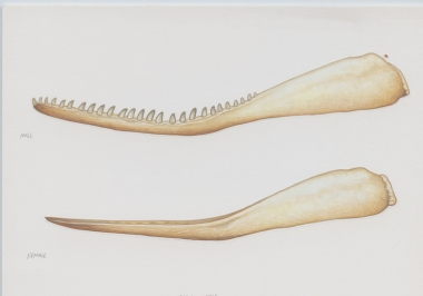 Image of Sperm whale (Physeter macrocephalus) - Jaw bones (male, top; female ,below)