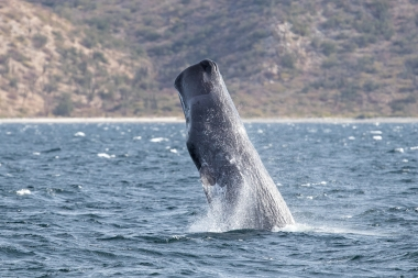 Image of Sperm whale (Physeter macrocephalus) - Breaching, Sea of Coertez, Baja California, Mexico