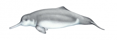 Image of Yangtze river dolphin or baiji (Lipotes vexillifer) - Adult