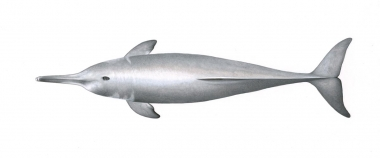 Image of Yangtze river dolphin or baiji (Lipotes vexillifer) - Adult topside