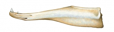 Image of Baird's beaked whale (Berardius bairdii) - Adult lower jaw (both sexes have teeth)