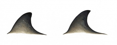 Image of Cuvier's beaked whale (Ziphius cavirostris) - Dorsal fin variations